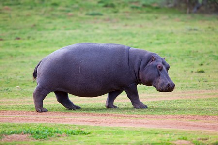 Rare sighting of a Hippo walking out of water Stock Photo - 7736087