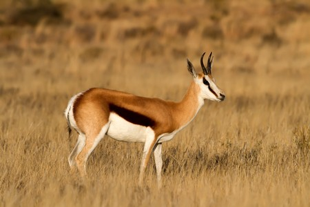 springbuck: Male Springbuck standing on the African Grass Plains