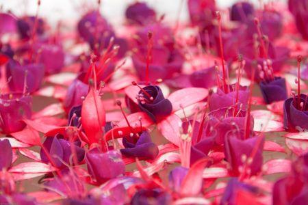 magenta flower float in basin Stock Photo