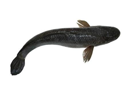 striped snake head fish: (pla chon) striped snakehead fish Stock Photo