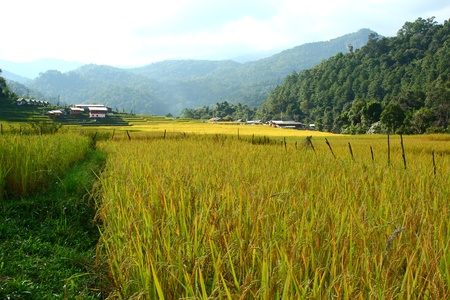 paddy rice field by hilltribe,Chiangmai Thailand