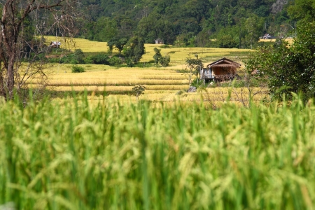 paddy rice field with the hut,Chiangmai Thailand