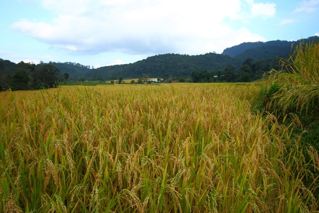 the  gold rice fields are waiting for harvest from the farmers Stock Photo