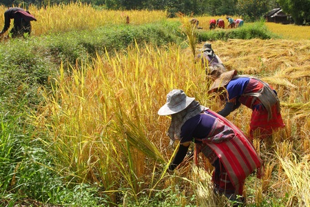 the hilltribes are helping harvest the rice in the paddy field@Chiangmai Thailand