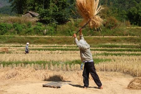 thresh: thai male farmer is threshing the grain in the paddy field
