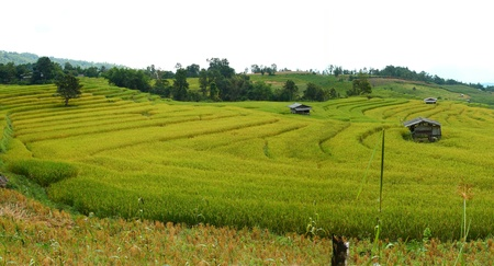 paddy rice field panorama photo