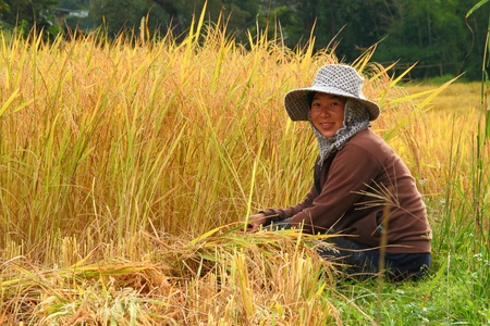 thai farmer is sitting in the paddy rice field photo