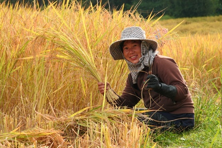 thai farmer is harvesting the rice in the paddy field photo