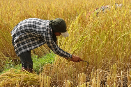 thai farmer is harvesting the rice in the paddy field@Chiangmai Thailand Stock Photo