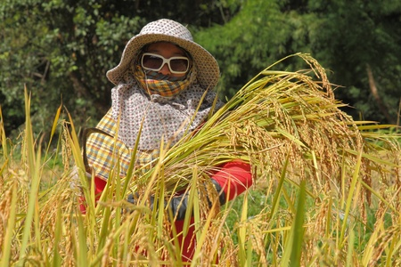 the woman farmer is holding the bunch of rice photo