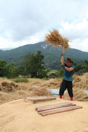 thai male farmer is threshing the grain in the paddy field@Mae Klang Luang,Chiangmai, Thailand
