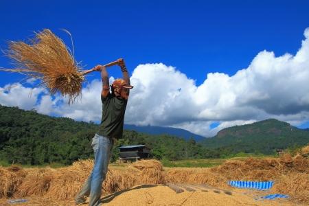 thai male farmer is threshing the grain in the paddy field@Baan Pha Mon,Chiangmai, Thailand