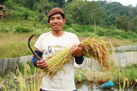 thai male farmer is holding the bunch of rice Stock Photo