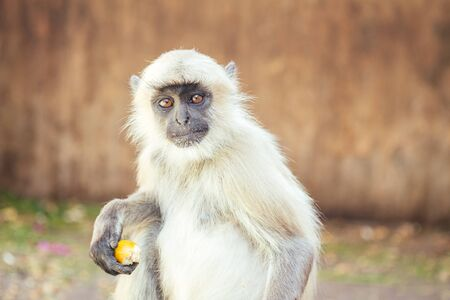 big and nice gray monkey in jaipur Stock Photo