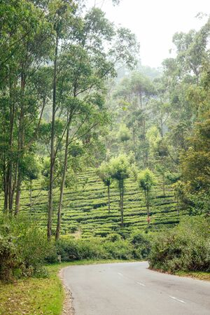 indian tea plantations and leafs in India Kerala Munnar