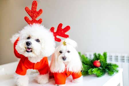 two puppies in christmas costumes are ready for party