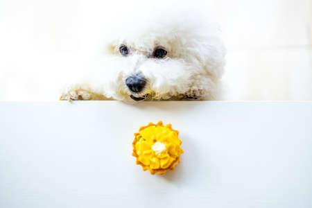 white dog trying to eat yellow pancake with cream from the table copyspace