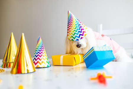 small white dog celebration birthday in daylight kirchen
