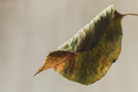 faded: sad beautiful faded fall leaf close-up macro Stock Photo
