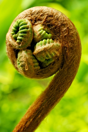 A Hapuu fern is about to sprout its fronds