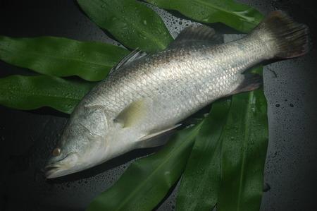 barramundi: Barramundi Fish