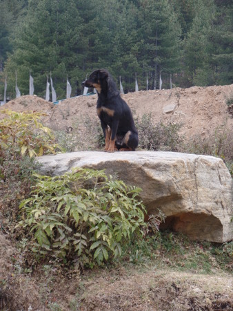 Guard dogs of Bhutan photo