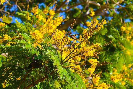 Peltophorum pterocarpum flowers Фото со стока