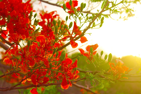 Poinciana Tree
