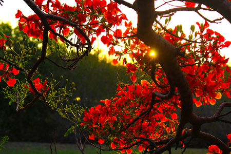 Red Flame Tree