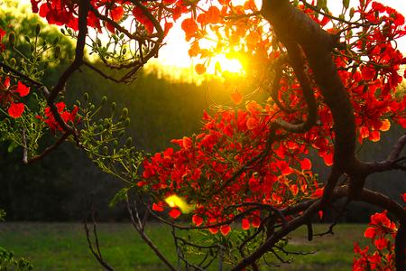 Royal Poinciana Tree Фото со стока