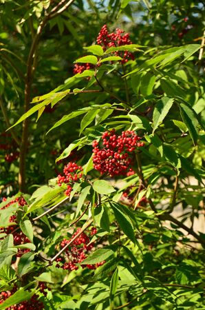 wolfberry: green Bush with red berries Wolfberry Stock Photo