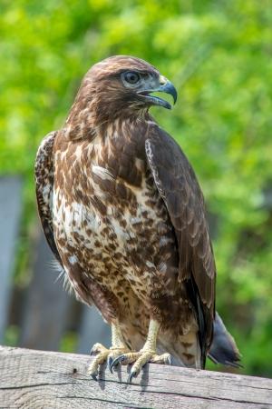 Hawk sitzt auf Zaun