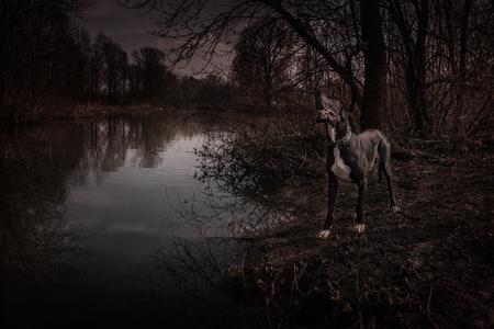 Great Dane dog walking outdoor spooky portrait