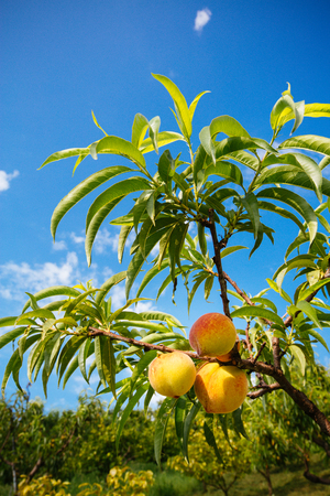 Sweet peach fruits growing on a peach tree branch Фото со стока