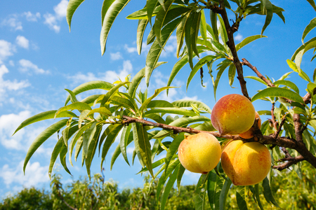 Sweet peach fruits growing on a peach tree branch 스톡 콘텐츠