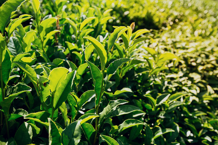 Tea leaves at a plantation in the beams of sunlight.