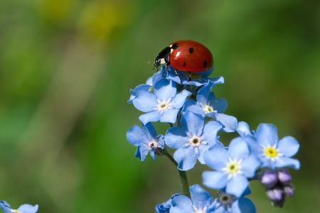 Ladybug on blue flower spring mood