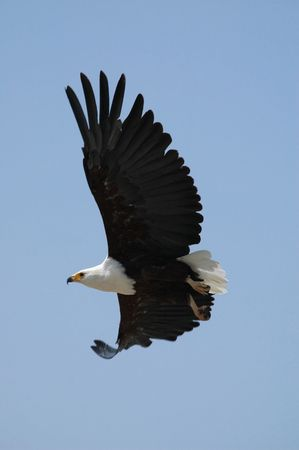 flying eagle on background blue sky