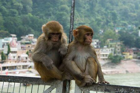 Two amusing monkeys sit on the pendant bridge