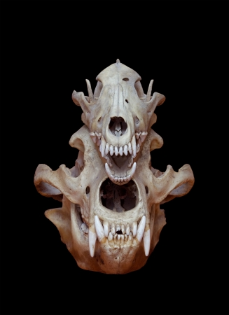 dead animal: Skull of a bear and wolf on a black background Stock Photo