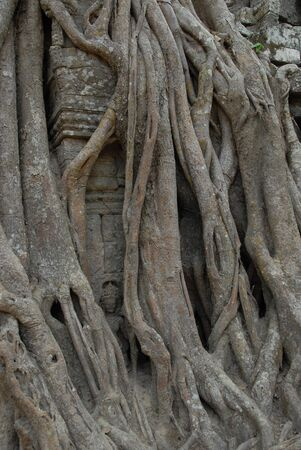 Close-up of parasite tree roots grown over a banyan tree at Ta Prohm temple, Angkor, Cambodia  photo