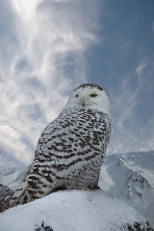 snowy owl: Snowy on background blue sky