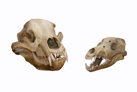 Skull of a bear and wolf on a white background