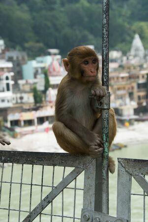 Amusing monkey sit on the pendant bridge Stock Photo