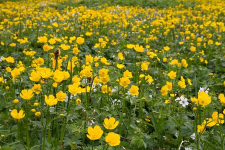 many yellow flowers on a mountain meadow Stock Photo - 17238458