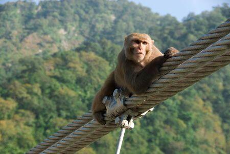 The monkey sits on the pendant bridge