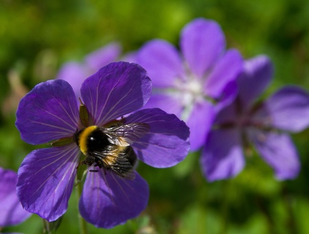 Shaggy bumblebee on a mountain flower, a close up Stock Photo