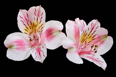 two flowers of Alstroemeria  on a black background, selective focus photo