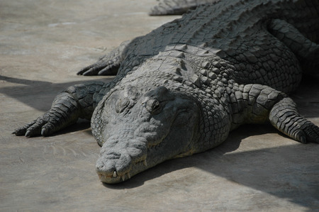 The huge crocodile is heated right in the sun Stock Photo