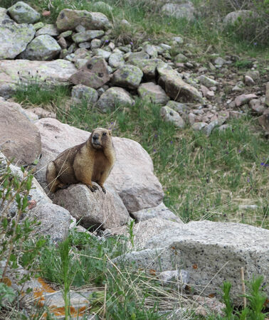 Marmot among the stones Stock Photo